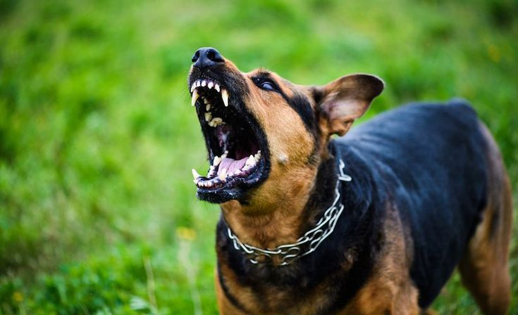 Best 25+ Dog attack ideas on Pinterest Dog attack videos, Videos - canine security officer sample resume