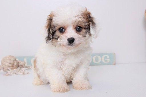 Cavachon puppy for sale in NAPLES, FL. ADN26585 on
