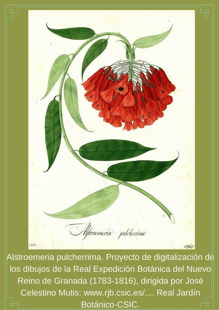 Alstroemeria pulcherrima. Proyecto de digitalización de los dibujos...