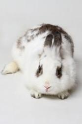 Jackalope is an adoptable American Rabbit in Knoxville, TN. Jackalope is a 5-year old purebred American rabbit. He has been at the shelter since March 6 but could not be made available for adoption un...