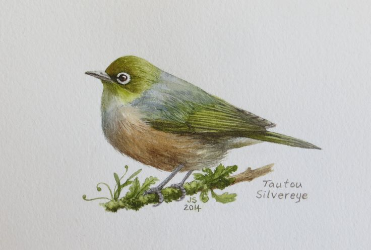 Tautou - Silvereye  watercolour   Jane Sinclair