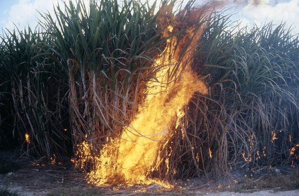 Burning a sugar cane field