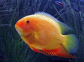 Heros Severum Red Spotted : 28.95 €