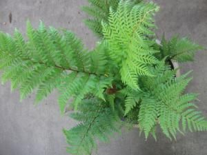 How to Grow Australian Tree Fern
