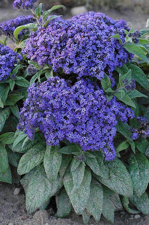 Heliotropium arborescens, Heliotrop Marine | Flowers ...