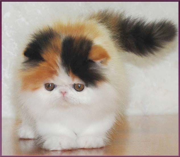 Persian cat breeders russia