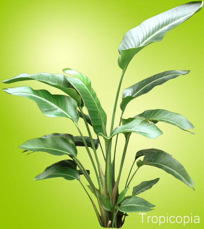 17 best images about plants on pinterest sansevieria plant vegetables and plant care - Green leafy indoor plants ...