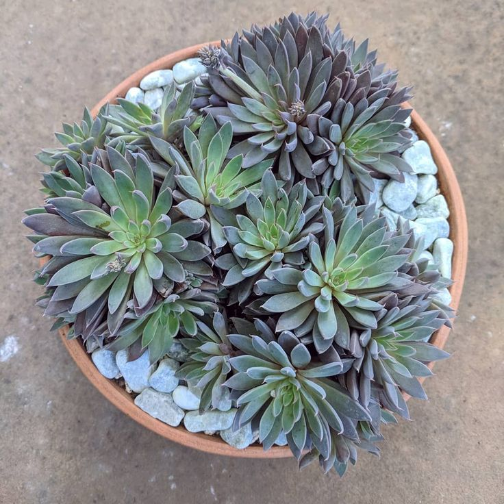 I did some much needed potting last weekend. I like the look of these graptopatalum rusbyi in a simple terra cotta pot. The top dressing is called 'wasabi green pebbles.' Fun name   .  #graptopatalumrusbyi #graptopetalum #graptopetalumrusbyi #succulents #succulove #succufest #succulents #succulentcontainer #succulentgarden #succulentlove #succulentcollection #succulenthoarder #succulentlover