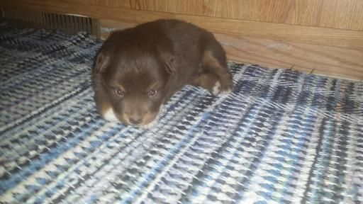 Litter of 2 Miniature Australian Shepherd puppies for sale in ARTHUR, IL. ADN-26557 on PuppyFinder.com Gender: Female. Age: 6 Weeks Old
