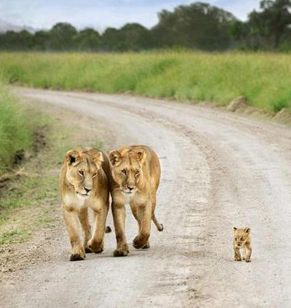 Lionesses  Cub. This little guy is fiercely independent while both Pride Mommas have eyes glued to him. :)