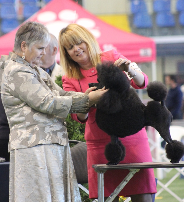 Abby is a New Canadian Champion after only a few appearance at the dog shows. She is also a sweetie pie, we enjoy her lovely tempérament. #Miniature poodle