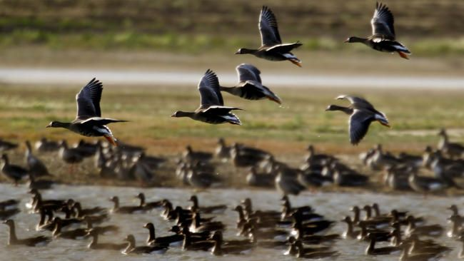 Hundreds of thousands of birds nesting sites and food for millions more imperiled due to #cadrought impact on rice crops.