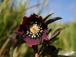 Frühlings Nieswurz - Blüte Februar -April 20-40 cm