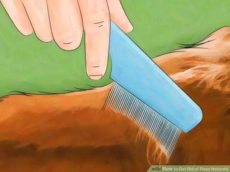How to get rid of fleas naturally fleas cat has fleas