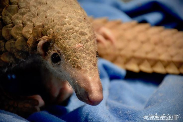 <p>The Wildlife Rescue Team at Wildlife Friends Foundation Thailand recently rescued a young male Sunda pangolin found in Phetchaburi province in central Thailand. </p>
