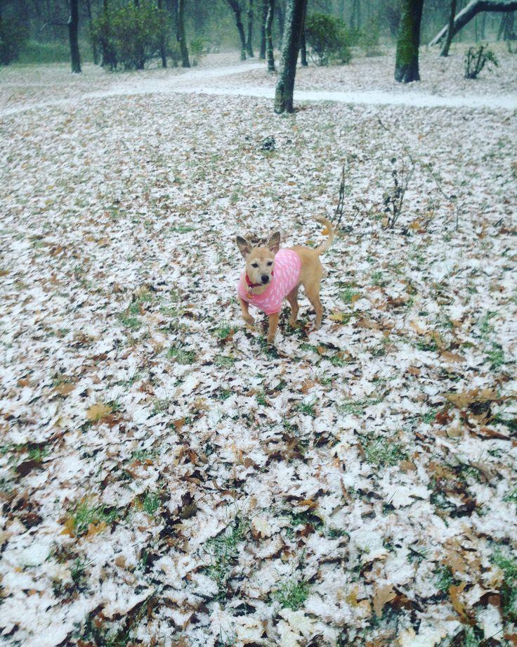 Oh pada snieg ,Oh pada snieg , fiona taka radosna w tej pogody 🌨❄️🌨❄️🌨❄️#happy #beautifull #autumn🍁 #snow #dog #dogs🐶 #dogs #love #rest #relax ❤️