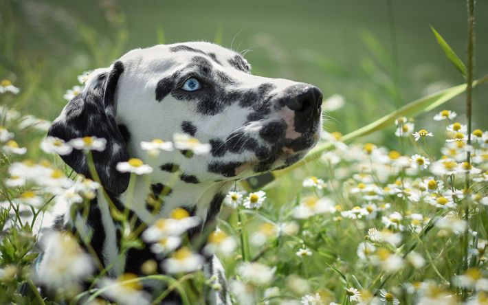 تحميل خلفيات الدلماسية, الكلاب, العيون الزرقاء, الحيوانات لطيف