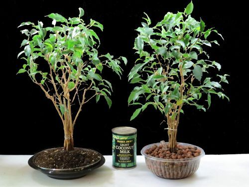 Both Ficus bonsai style plants are growing in recycled containers. The one on the left is growing in potting mix, the one in the right in expanded clay pebbles. Both methods are simple forms of hydroponics that do not require electricity and air pumps.