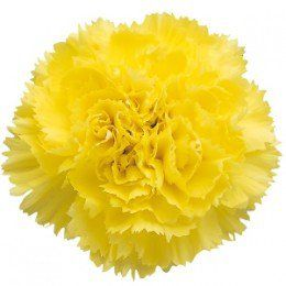 Carnation Colors and What They Mean