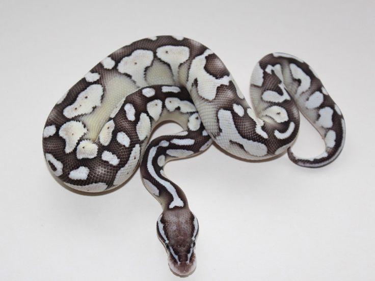 http://www.worldofballpythons.com/files/morphs/axanthic-lesser-pastel--snake-keepe-line/004.jpg