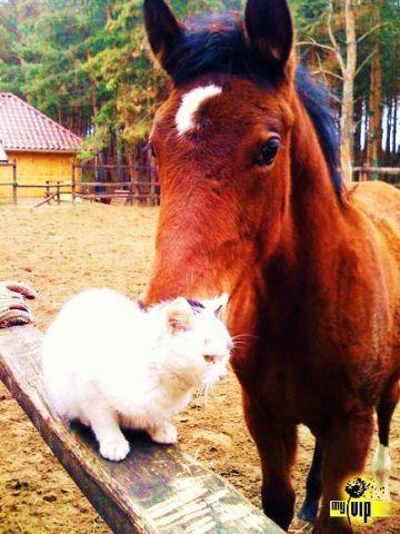 Ló: Kisbéri-félvér