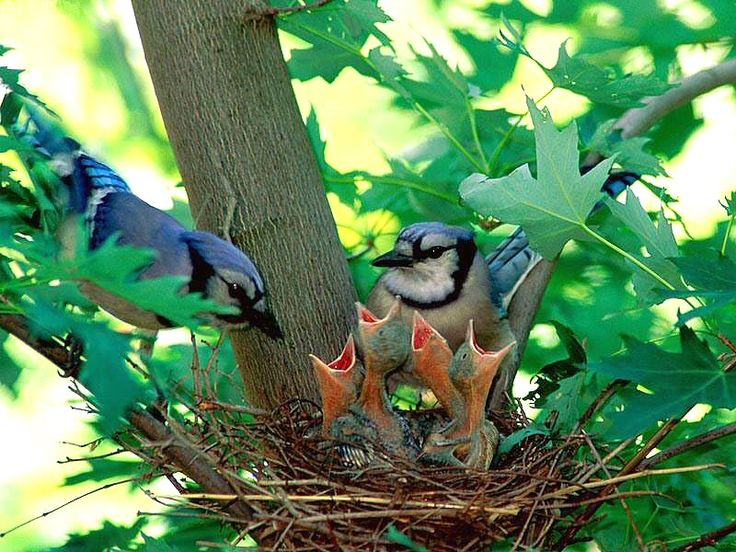 Blue Jay Family
