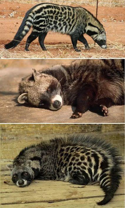 A Civeta-Africana é um mamífero pertencente à família Viverridae. Seu rosto lembra um pouco o dos guaxinins. Suas características mais marcantes são os seus quadris desproporcionalmente grandes e a crista de pelos percorrendo toda a extensão do seu corpo, ficando bem ereta quando ameaçado.  Medindo entre 67 e 84 cm (com a adição de uma cauda com cerca de 40 cm) e pesando entre 12 e 15 kg, a Civeta-Africana é um animal de hábitos noturnos e solitários. Onívoro, come desde cenouras até cobras…