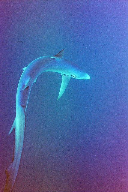 The thresher shark uses its elongated tail to herd and stun small fish