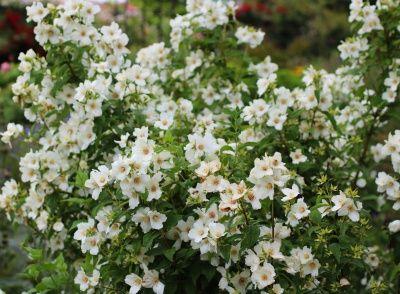 【楽天市場】梅花ウツギ 'ベルエトワール' 大苗:おぎはら植物園