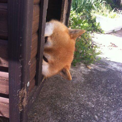 Sleeping Shiba inu