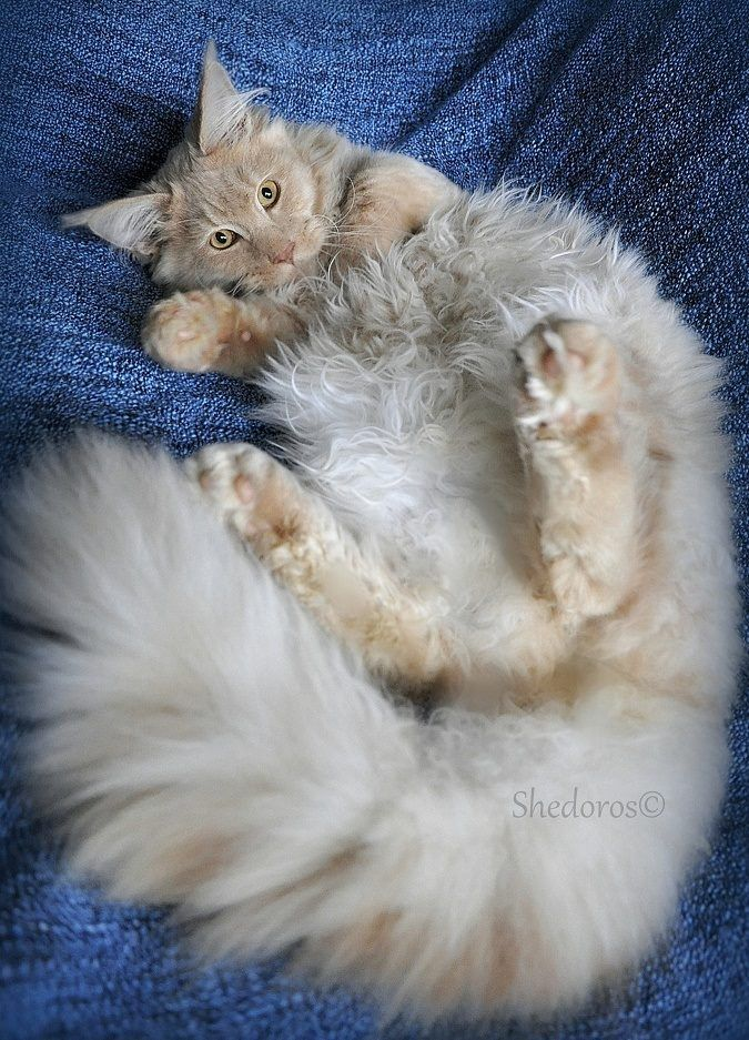 Shedoros Maine Coon Cattery http://www.mainecoonguide.com/