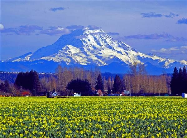 Puyallup Daffodils with Mt. Rainier in the background.