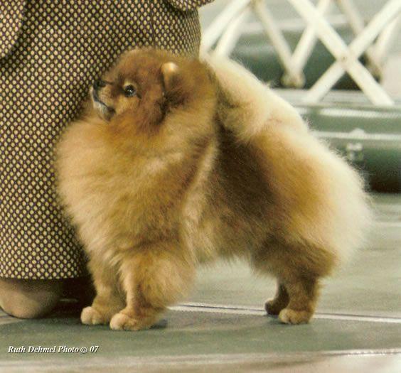 Sebastian @ Castile Pomeranians  Alabama breeder
