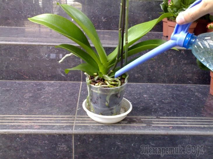 """Неправильный полив – это одна из самых распространенных проблем при уходе за орхидеями. Тем не менее, растения эти неприхотливые и """"живучие"""" и поливать их совсем не сложно, если знать несколько важных..."""