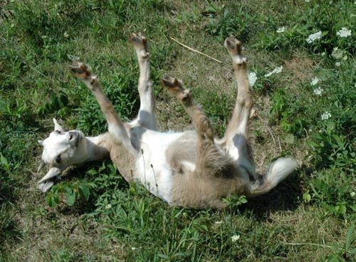 A fainting goat is a breed of domestic goat whose muscles freeze for roughly 10 seconds when the goat is startled. Hilarious!