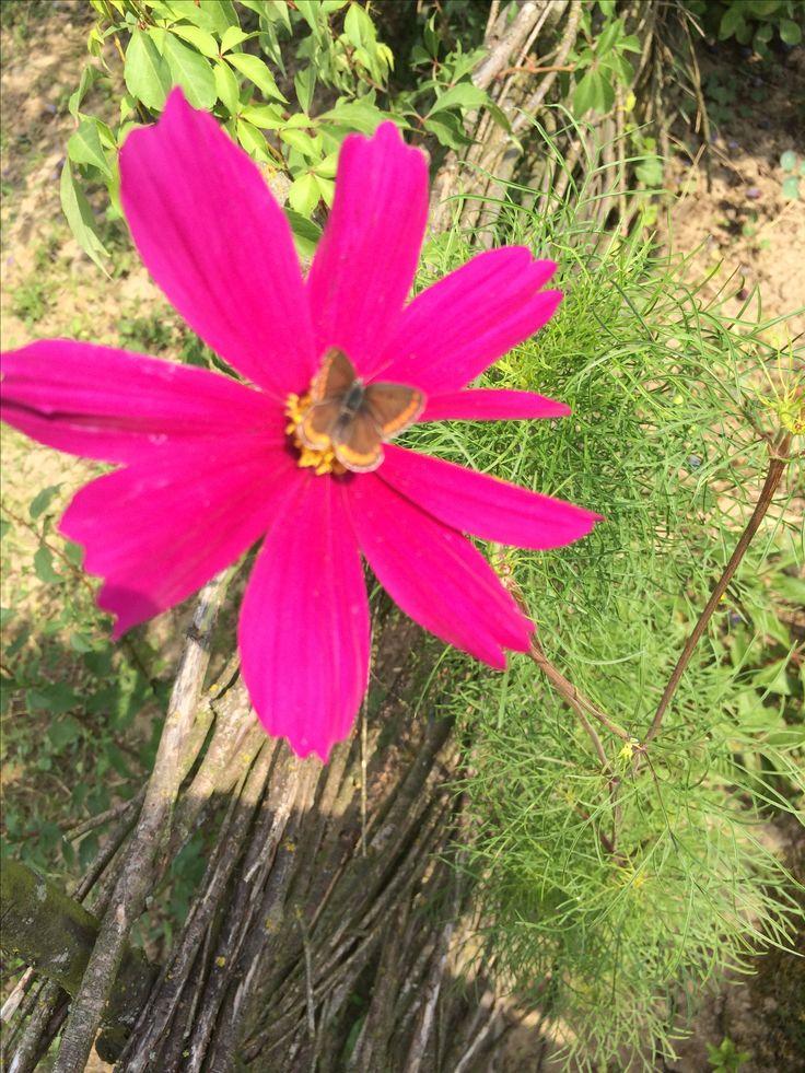 Cosmos ,ostatni kwiat lata