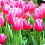 Top 10 Plants Poisonous to Pets (Cats & Dogs) Autumn Crocus, Azalea, Cyclamen, Kalanchoe, Lilies, Oleander, Dieffenbachia, Daffodils, Lily of the Valley, Sago Palm, Tulips, and Hyacinths from Pet Poison Helpline  24/7 Animal Poison Control Center 1-800-213-6680