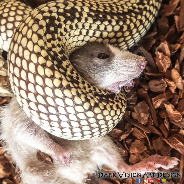 My king snake (californian king snake banana striped) crushing a baby husky dumbo rat to unconsciousness. I don't know why, but here the rat looks like a mole :) And yes, this is nature! #Schlange #Schlangen #Ratte #Ratten #Rattenplage #crush #würgen #Würgeschlange #Tot #kill #töten