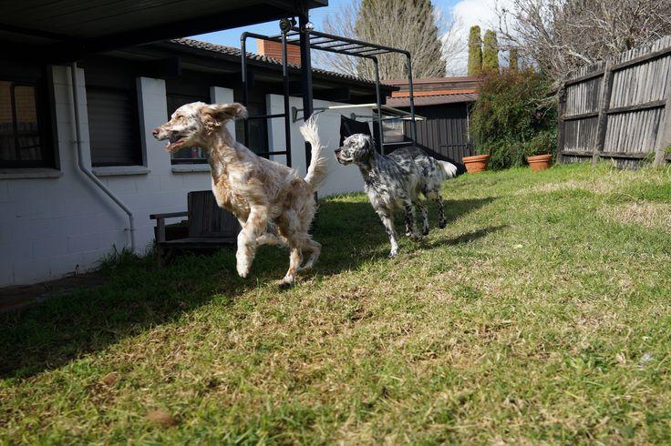 Muddy&Pepper (C) #dog #puppy #pet #petsitting #madpaws #pawshake #melbounre #cute #fluffy #englishsetter