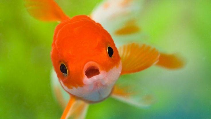 7 Ikan Hias Air Tawar yang Paling Populer