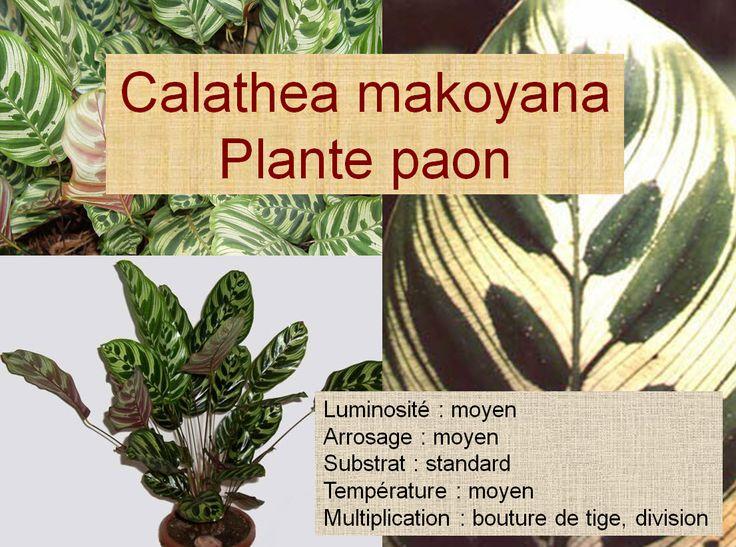 Calathea makoyana Plante paon