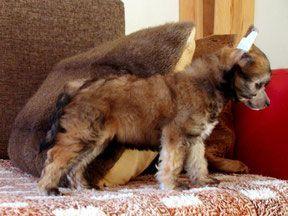 Marcus Honey Berry - Китайская хохлатая собака питомник Vittoria dell Amore