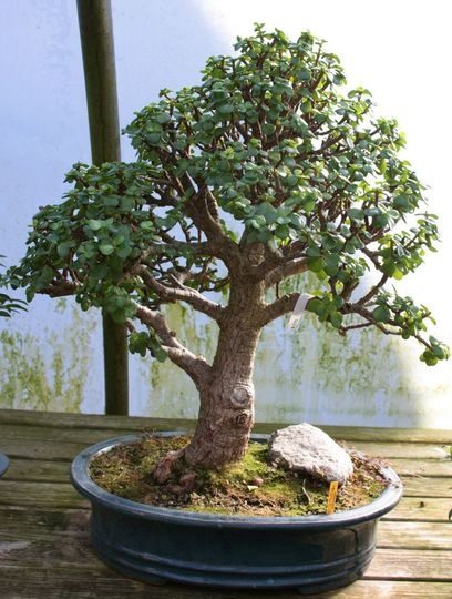 Bonsai tree! Happy thing! Check out the article to see the whole collection at this bonsai nursery.