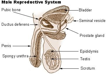 Male and Female Reproductive Systems: Male Reproductive System