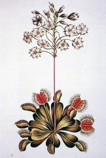 early botanical drawing of a Venus Flytrap, Dionaea muscipula