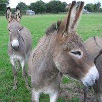 Normandy's Cotentin Donkey