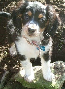 Cocker spaniel/ mini australian shepherd mix. Result= energetic dog that's great with kids. I want another one of those. I miss my dog. :-S