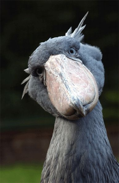 Shoebill Stork (Balaeniceps rex) aka Whalehead or Shoe-billed stork ...this is a darling photo of a bird who really doesn't take a very good picture