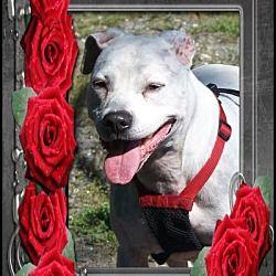 Middletown, New York - Pit Bull Terrier. Meet Lilly, a for adoption. https://www.adoptapet.com/pet/18162861-middletown-new-york-pit-bull-terrier-mix