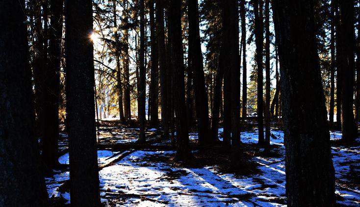 Winter firewood cutting, Alberta, Canada